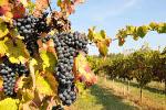 Vitivinicolo (grappolo uva)